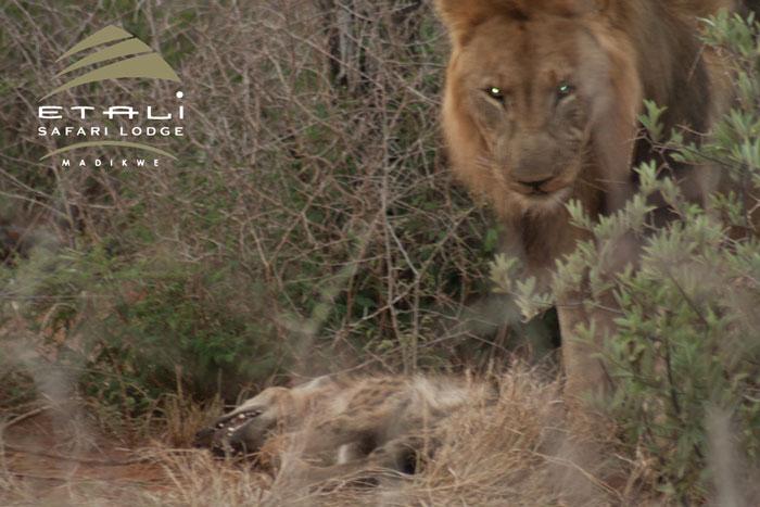 lion and hyena