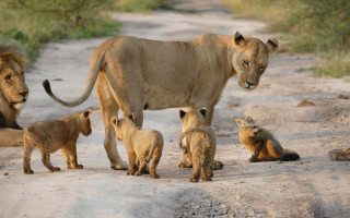 lion cubs and fox