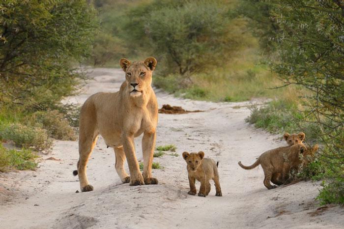 lion cubs kalahari