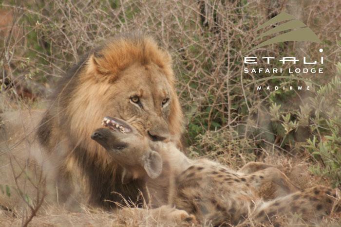 lion hyena