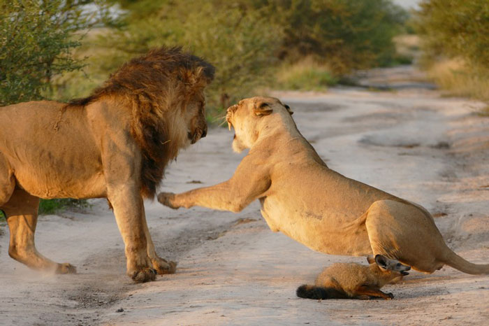 lion vs fox in kalahari