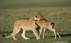 lion wildebeest cuddle
