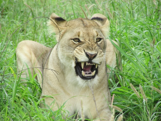 Lions Return To Isimangaliso In Memory Of Mandela on Whale Facts