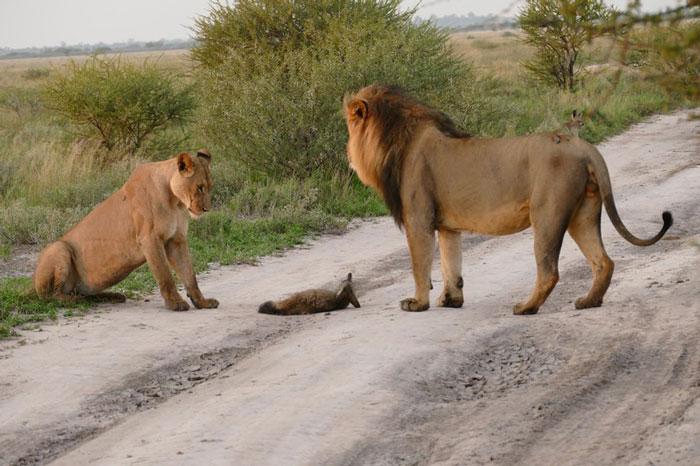 lions fox