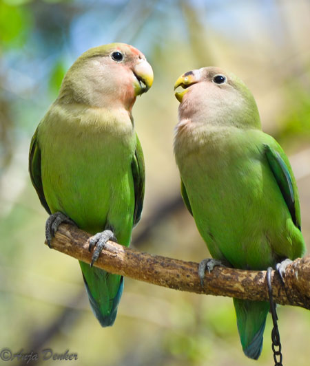 in love with lovebirds africa geographic