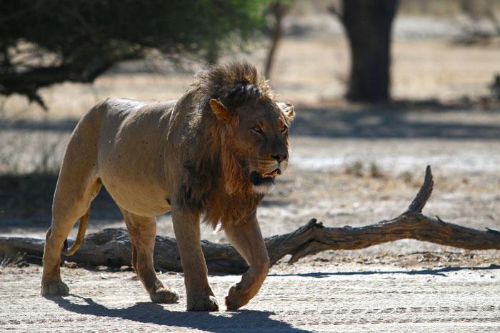 lion kgalagadi