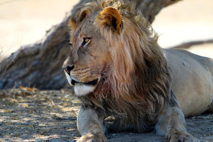 male lion kgalagadi