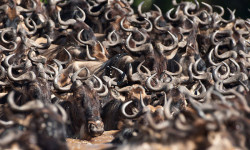 migration-Wildebeest-