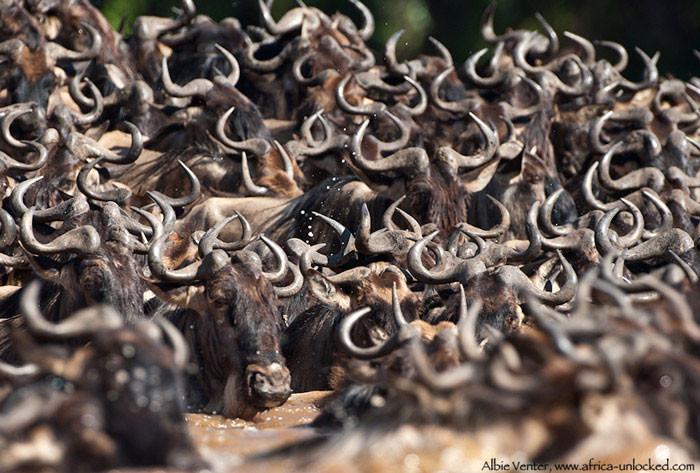 migration-Wildebeest-