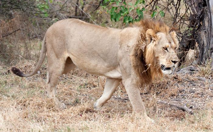 maned lioness
