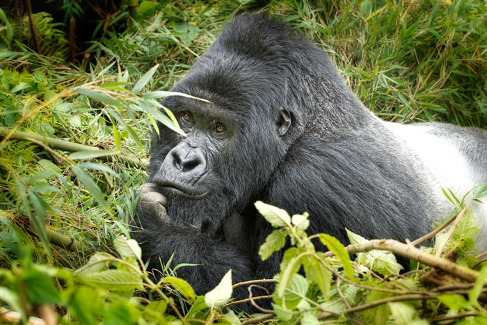 African silverback gorilla - photo#23