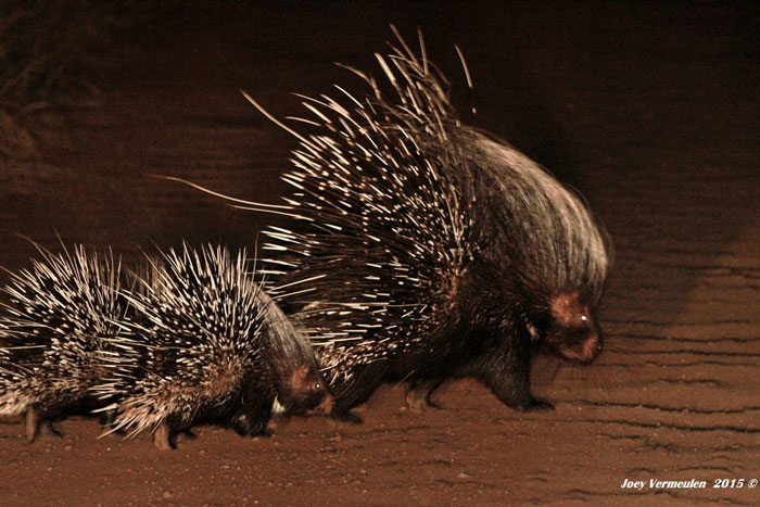 porcupine with babies