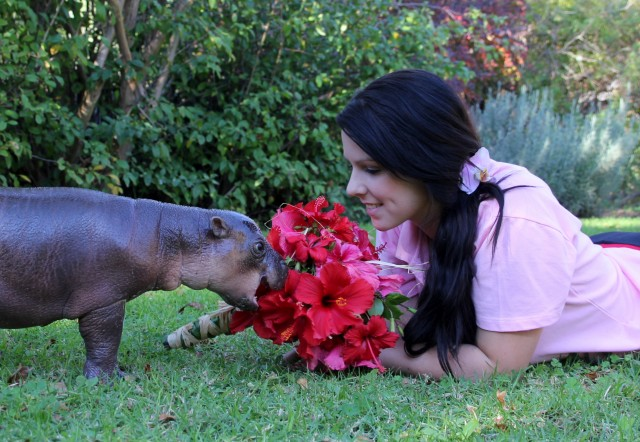 Pygmy Hippo Tragedy Strikes South Africa Africa Geographic