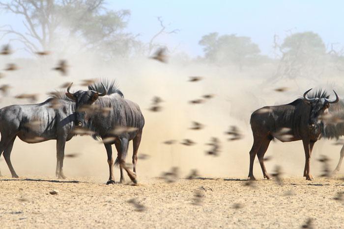 quella and wildebeest