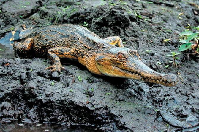 New African crocodile species discovered!