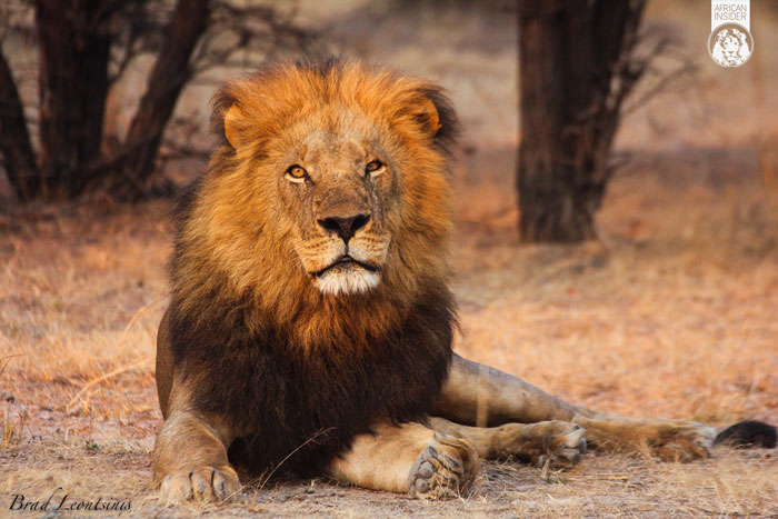 One Lion S Life A Lesson About Hunting Africa Geographic