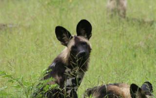 wild dog luangwa