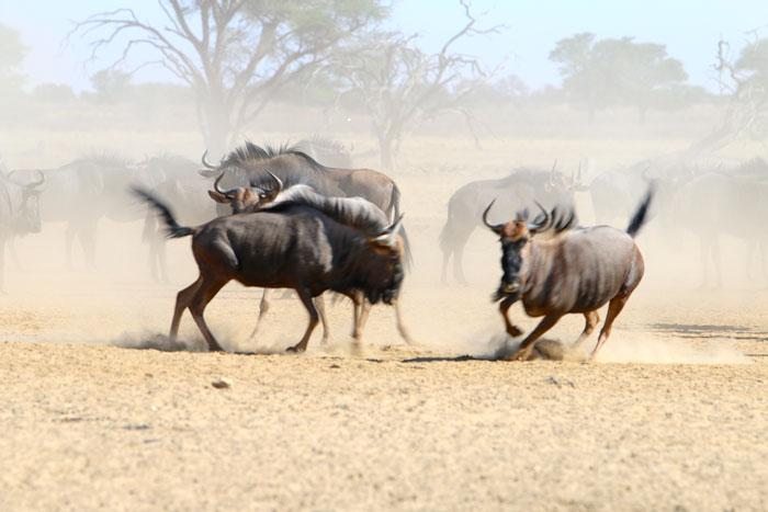 wildebeest kgalagadi