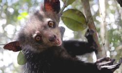 Aye-Aye Madagascar