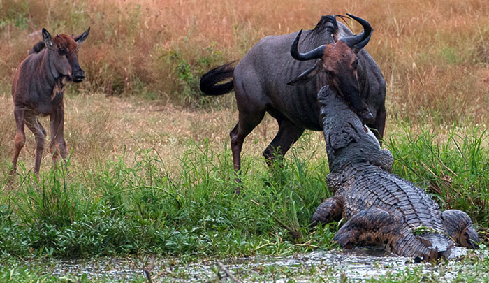 Wildebeest In Middle Of Fight Between Croc And Hippo