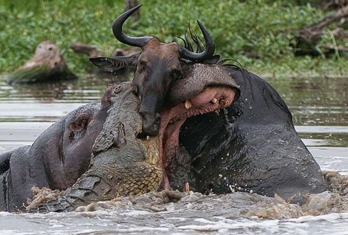 HIPPO CROCODILE and WILDEBEEST