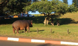 Hippo crossing road St Lucia iSimangaliso