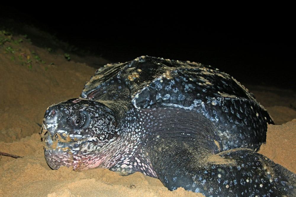 Leatherback-Turtle-Maputaland-Jan-2015-GRH-Collection-063ae