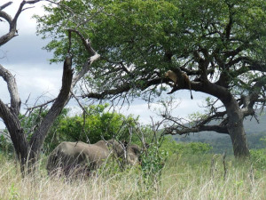 Two short-sighted rhino seemingly oblivious to a lioness overhead in a Marula tree in Hluhluwe-iMfolozi Park