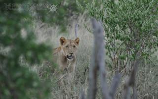 Lions Hlane