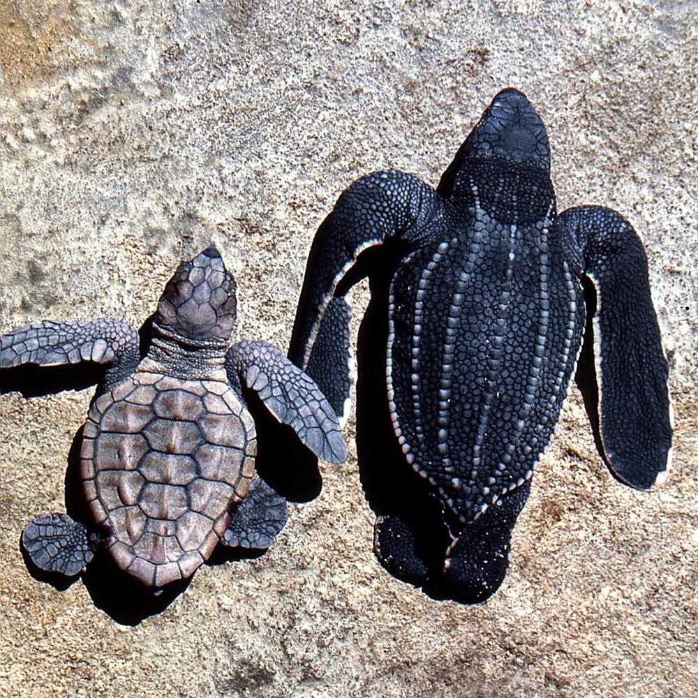 Loggerhead-hatchling-and-leatherback-hatchling-Maputaland-1974--GRH-Collection-303ae