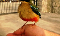 african pitta west africa