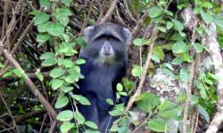 arusha blue monkey