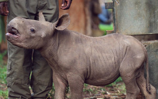 Protected black rhino calf