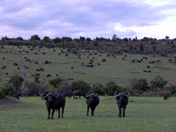 buffalo-mara