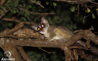 A terrified bushbaby keeps out of the way