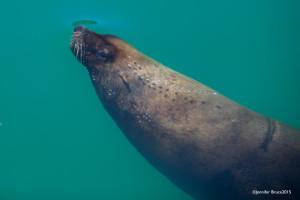 Cape fur seal in Kalk Bay