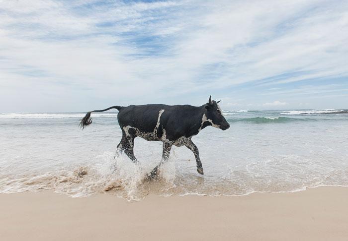 cattle pondo port st johns