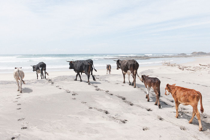cattle pondo