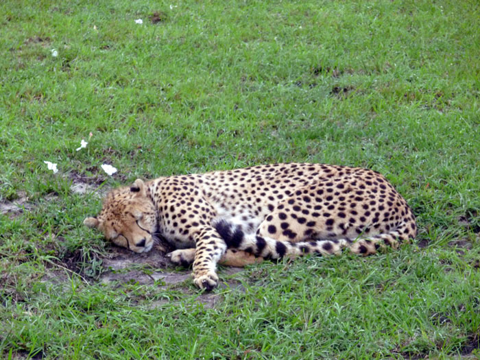 cheetah-maasai-mara