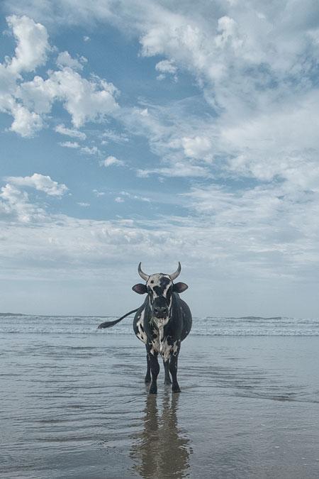 cows pondo