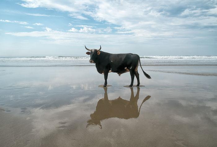 cows port st johns