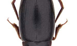 Recently discovered Cape diving beetle