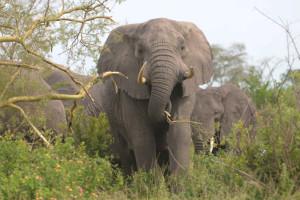 Savanna elephant