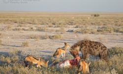 jackals and hyena share prey