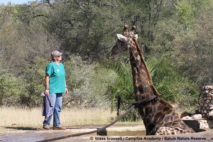 Attaching a rope around giraffe's neck