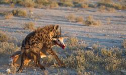 hyena steals springbok