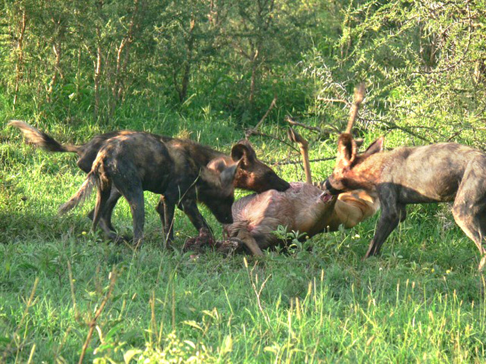 wild dogs of the serengeti africa geographic