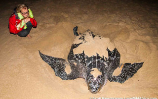 Leatherback turtle in iSimangaliso