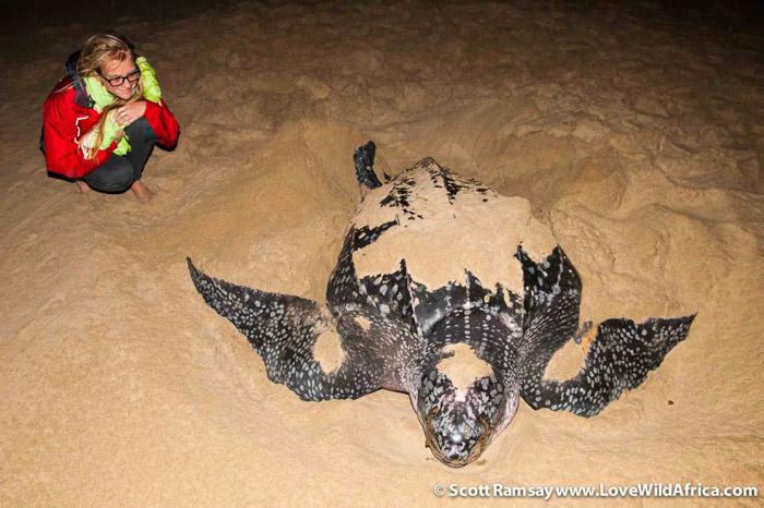 Leatherback turtle in iSimangaliso
