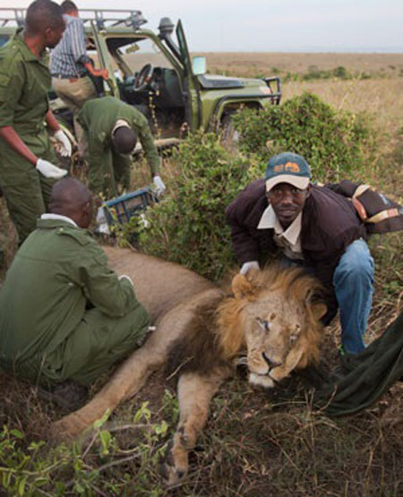 A team led by the Kenya Wildlife Service (KWS) fit a GPS-tracking collar to a tranquilized male lion.  © Ben Curtis, AP